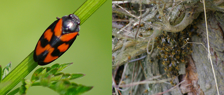 Red and black froghopper and bee swarm in a tree (credit Nicola Ceconi)