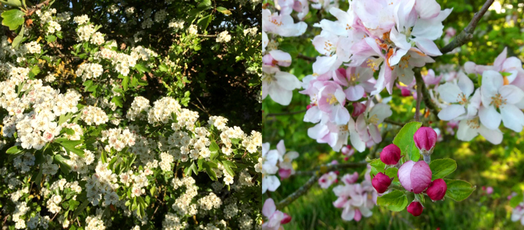 Hawthorn and apple blossom