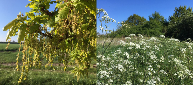Oak flowering and cow parsley
