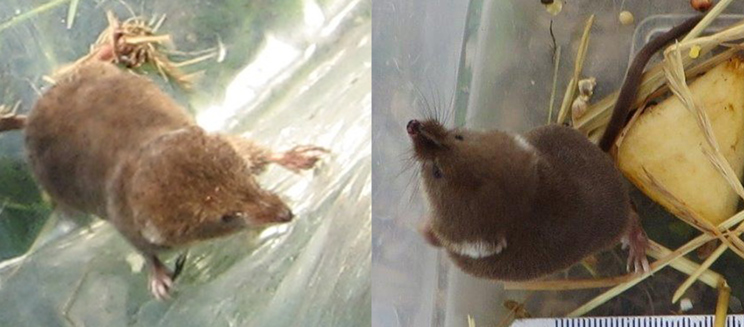 Shrew and water shrew in mammal trapping boxes