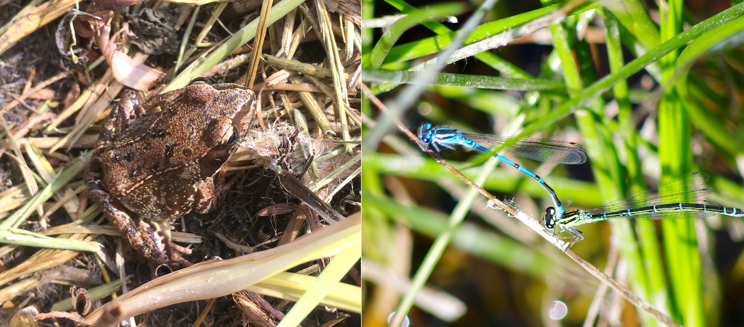 Common frog and azure damselfly (credit to Martin Rogers)