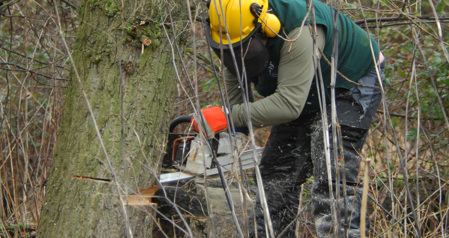 Forest volunteer with chainsaw, felling a tree