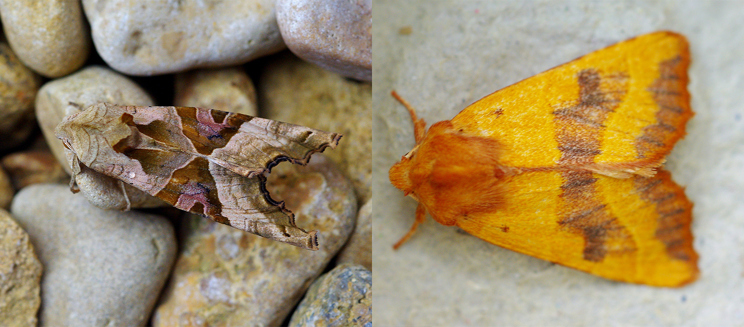 Angle shades and centre barred sallow moths - Credit to Martin Rogers