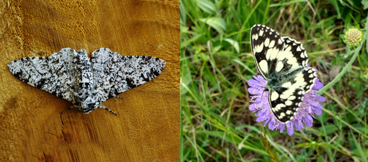 Peppered moth (Credit to Martin Rogers) and marbled white butterfly