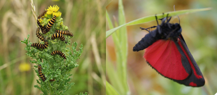 Cinnabar moth and caterpillars
