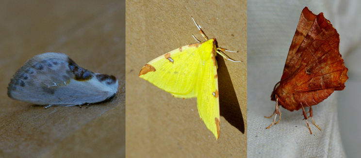 chinese character, brimstone and early thorn moths
