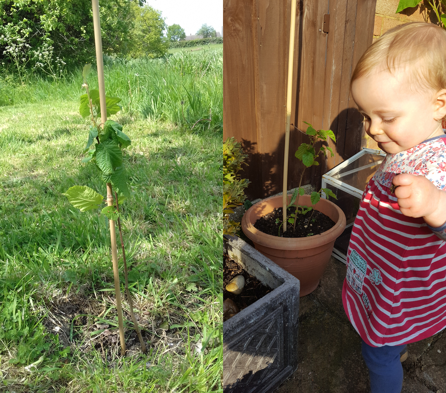 A sapling in the ground, and a little girl with a sapling in a pot