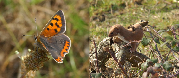 Small copper and weasel (Credit to Don Morris)