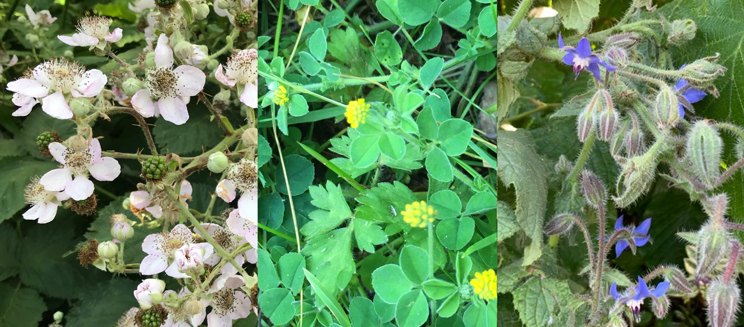 Bramble, black medick and borage
