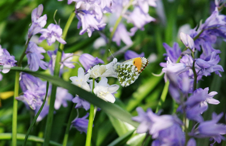 Orange tip (credit Martin Rogers)