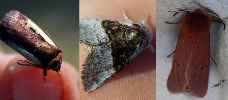 Flame shoulder, nut-tree tussock and ruby tiger moths