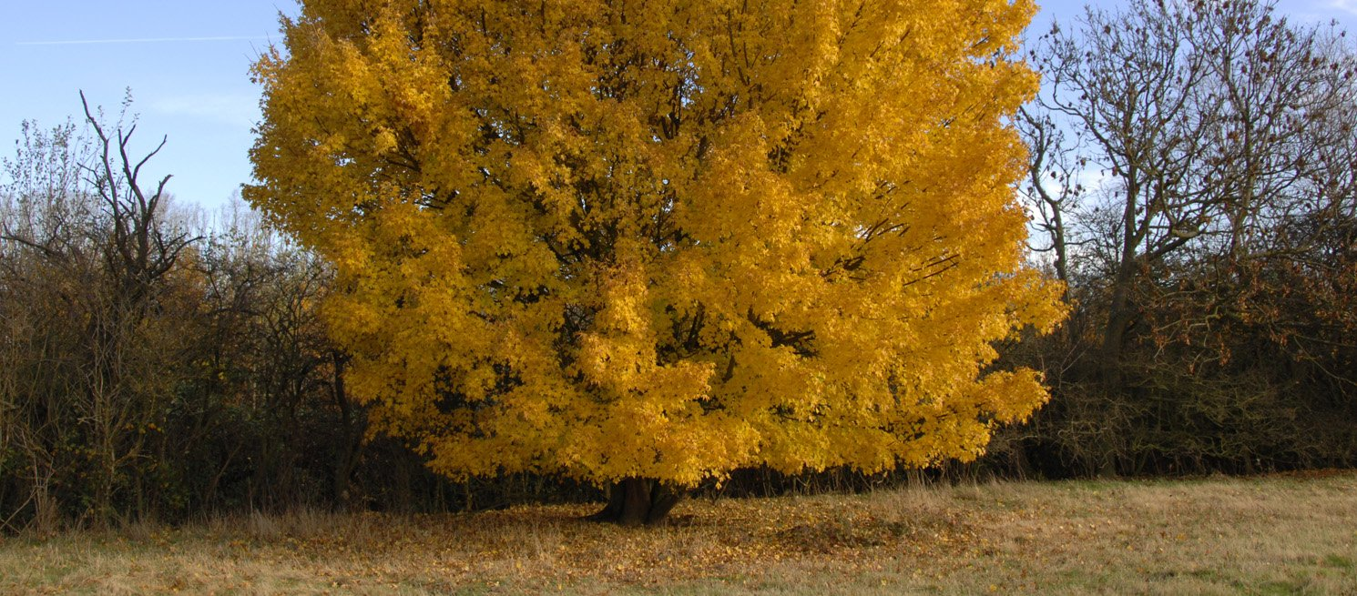 Field Maple in autumn