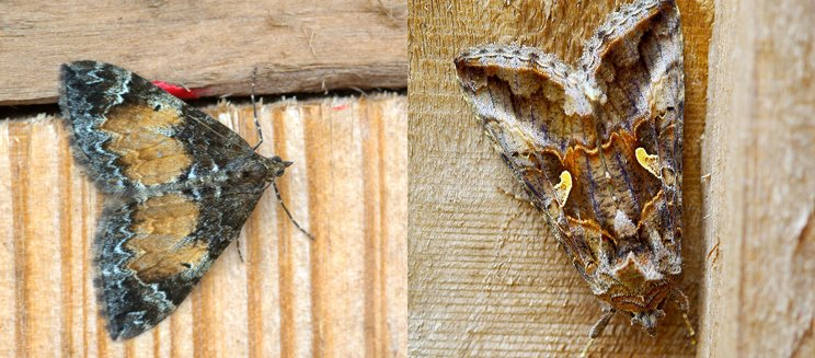 Marbled carpet and silver y moths- Credit to Martin Rogers