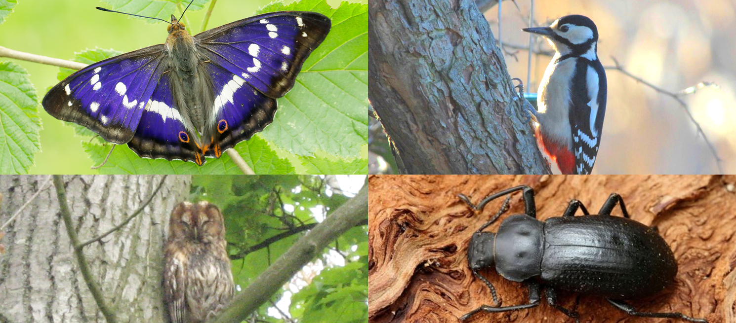 Purple Emporer Butterfly, Woodpecker, Tawny Owl and Beetle