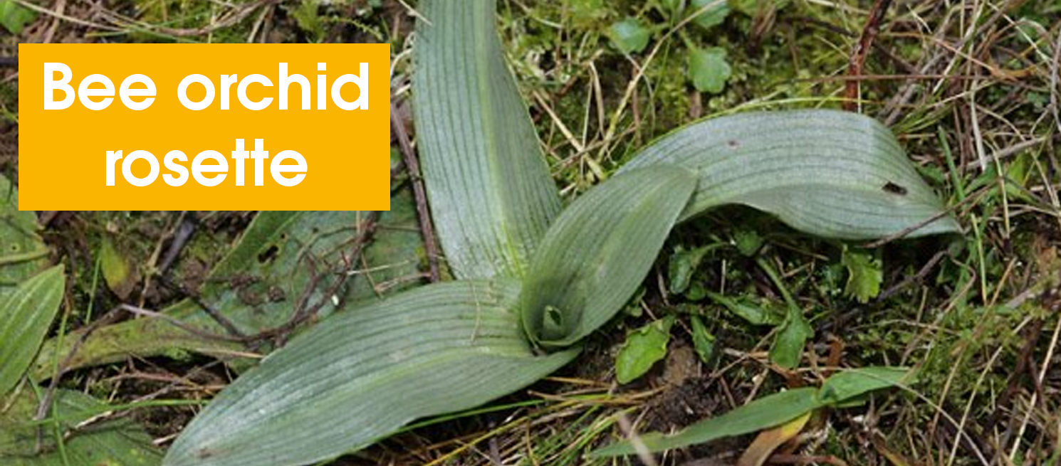 Bee orchid rosette