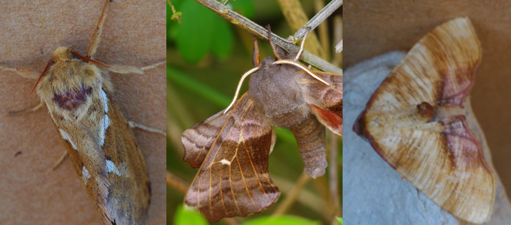 Common swift, poplar hawk and scorched wing moths