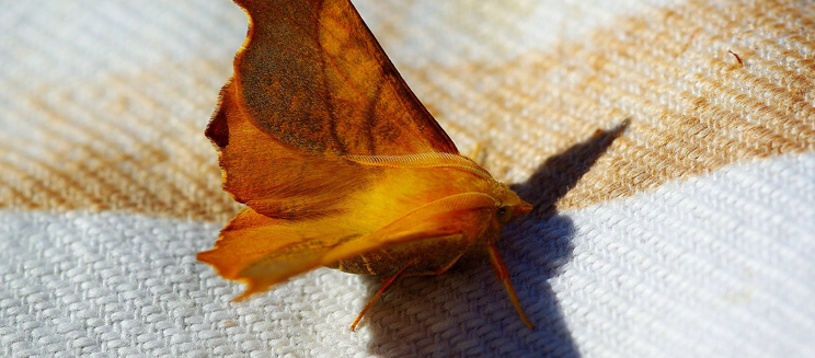Canary shouldered thorn - Credit to Martin Rogers
