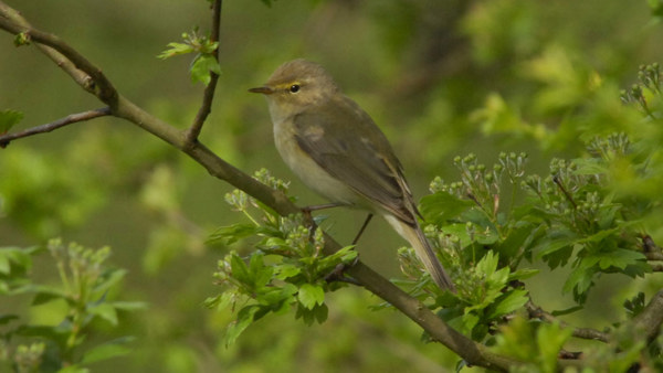 A chiff chaff, photographed by Don Morris