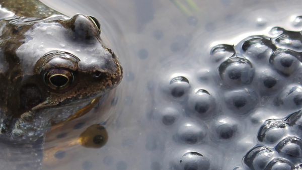 A frog holding frogspawn