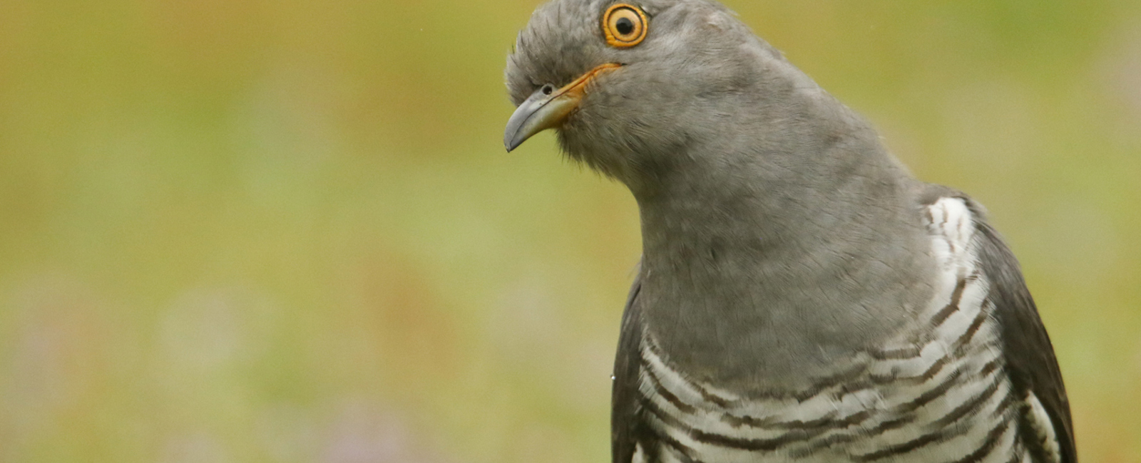 The cuckoo – loveable villain of the Forest...?
