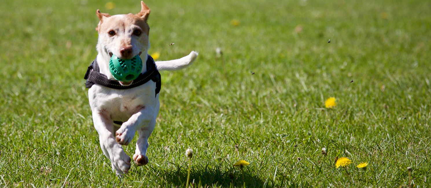 Dog running in field with a ball