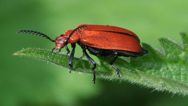 A red bug on a green leaf