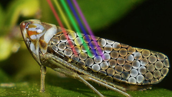 Leafhopper with illustration of light reflecting from its back