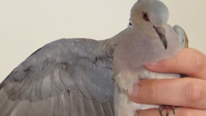 A turtle Dove being held