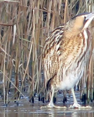 Bittern - Credit to Martin Green