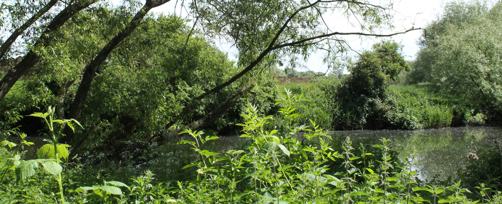 Trees on the River Great Ouse