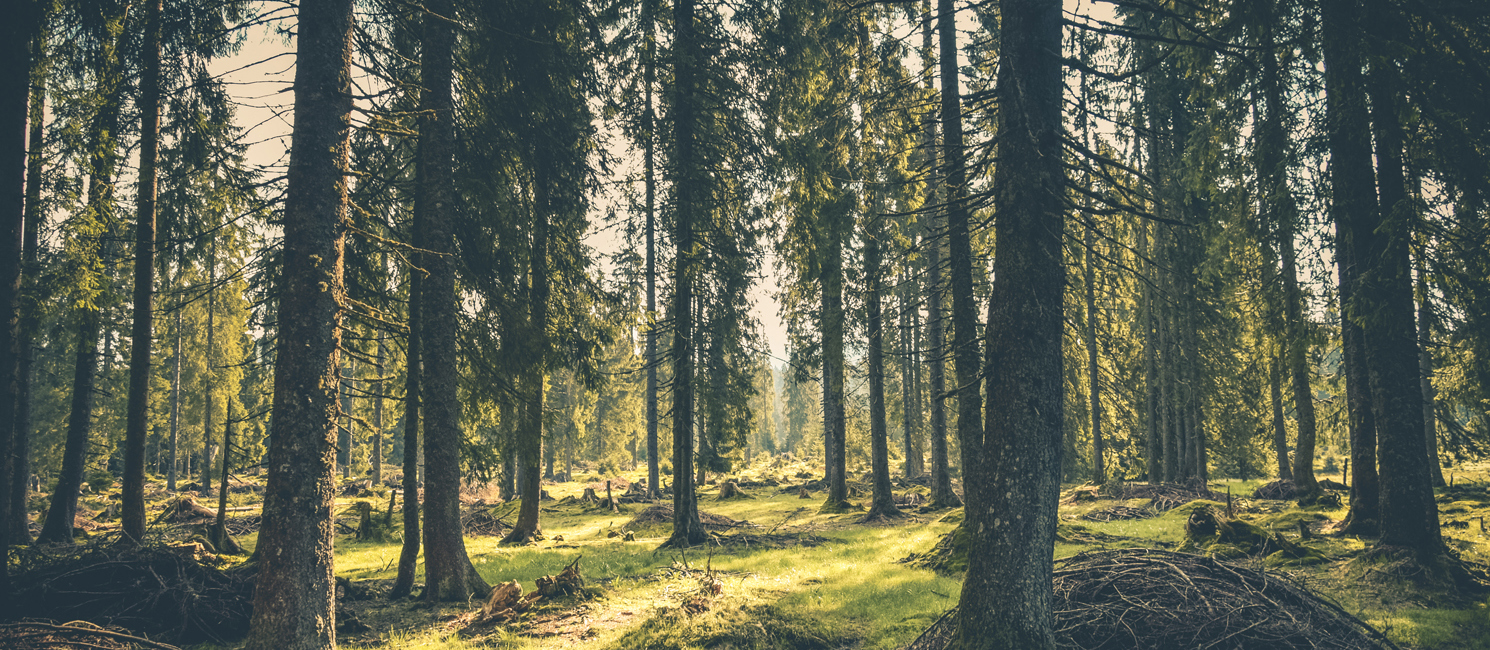 A mature, evergreen forest