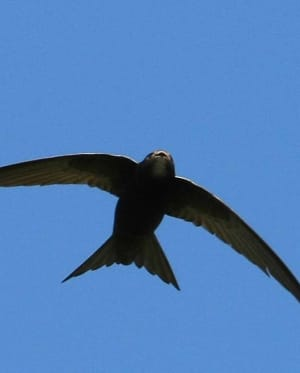 Swift in flight - Credit Neil Wright