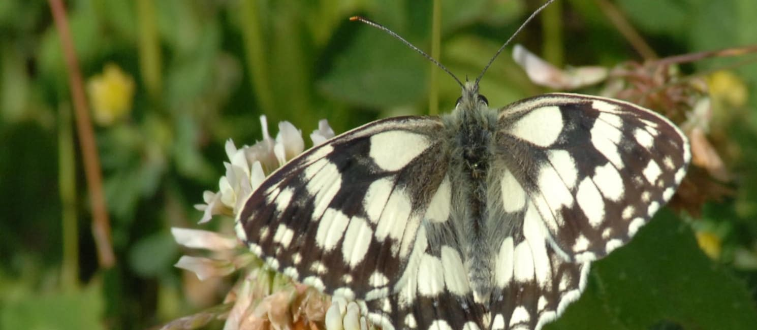 Marbled white butterfly sits on a leaf, shot by Don Morris