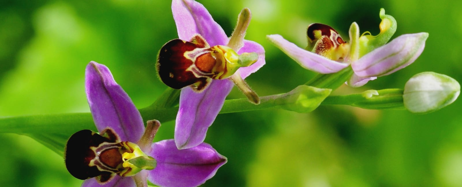 Bee orchid in bloom