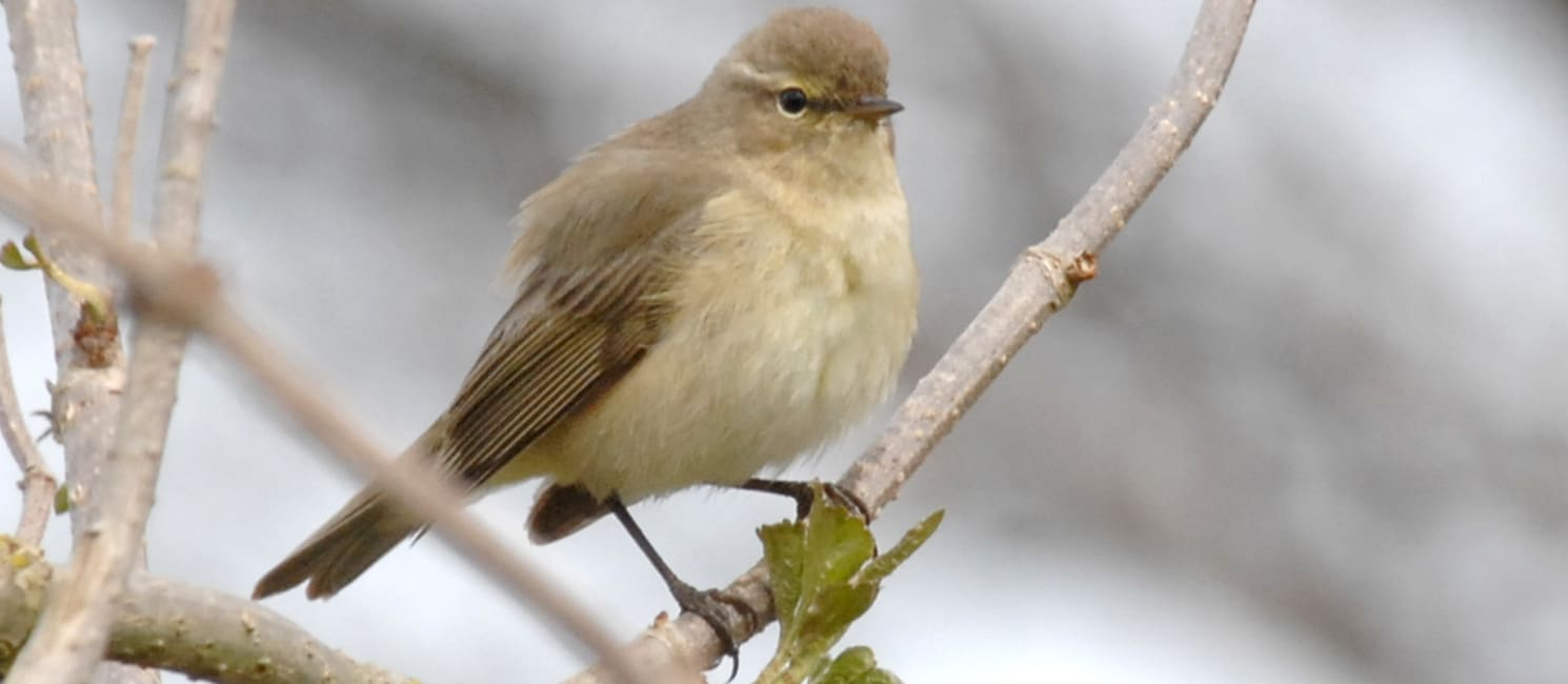 A chiff chaff sits on a branch in winter