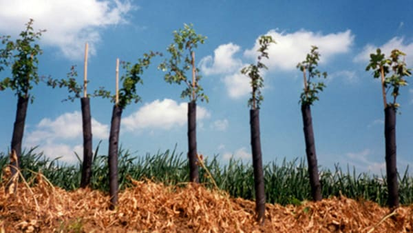 Row of saplings in tree guards