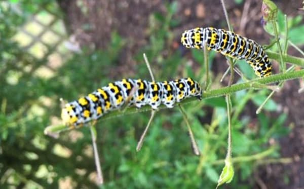 Mullein moth catterpillars Credit to: Gilly Cowan