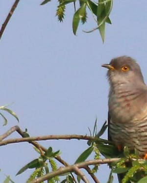 Cuckoo by Rolf Taggart