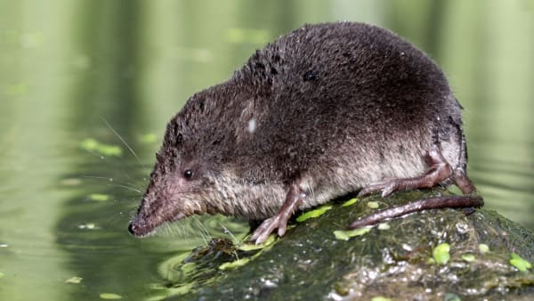 water vole on a stone in a river
