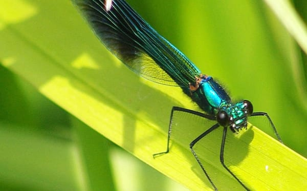 Banded demoiselle by Martin Rogers