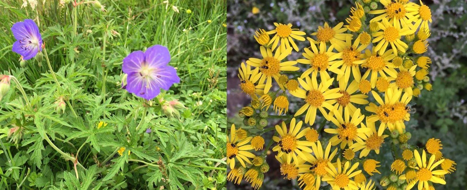 Meadow cranesbill and ragwort