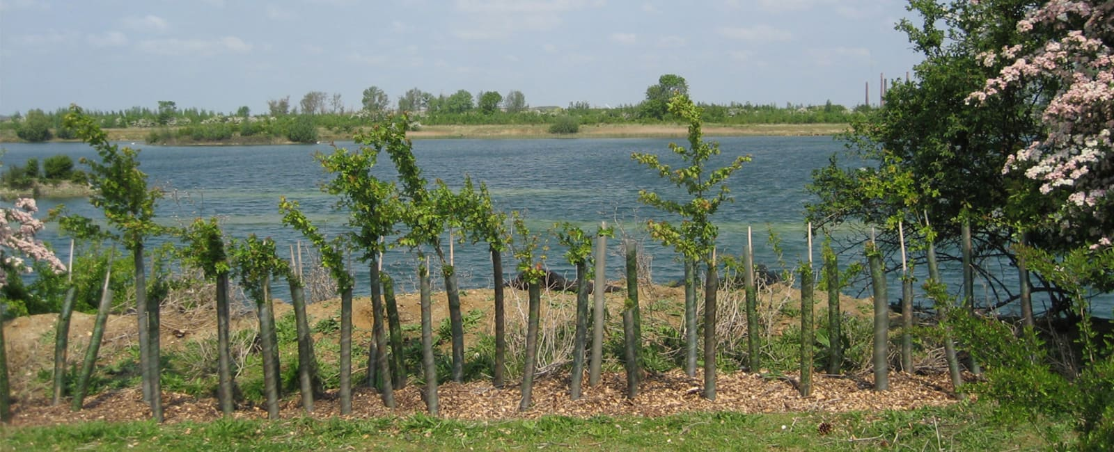A row of saplings by water