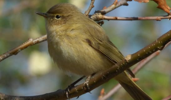 Chiff Chaff sat on a branch by Don Morris