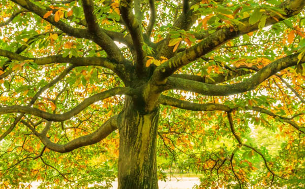 Branches and leaves of an oak tree