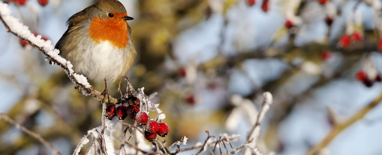 A robin on a snowy branch