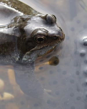 frog touching spawn underwater