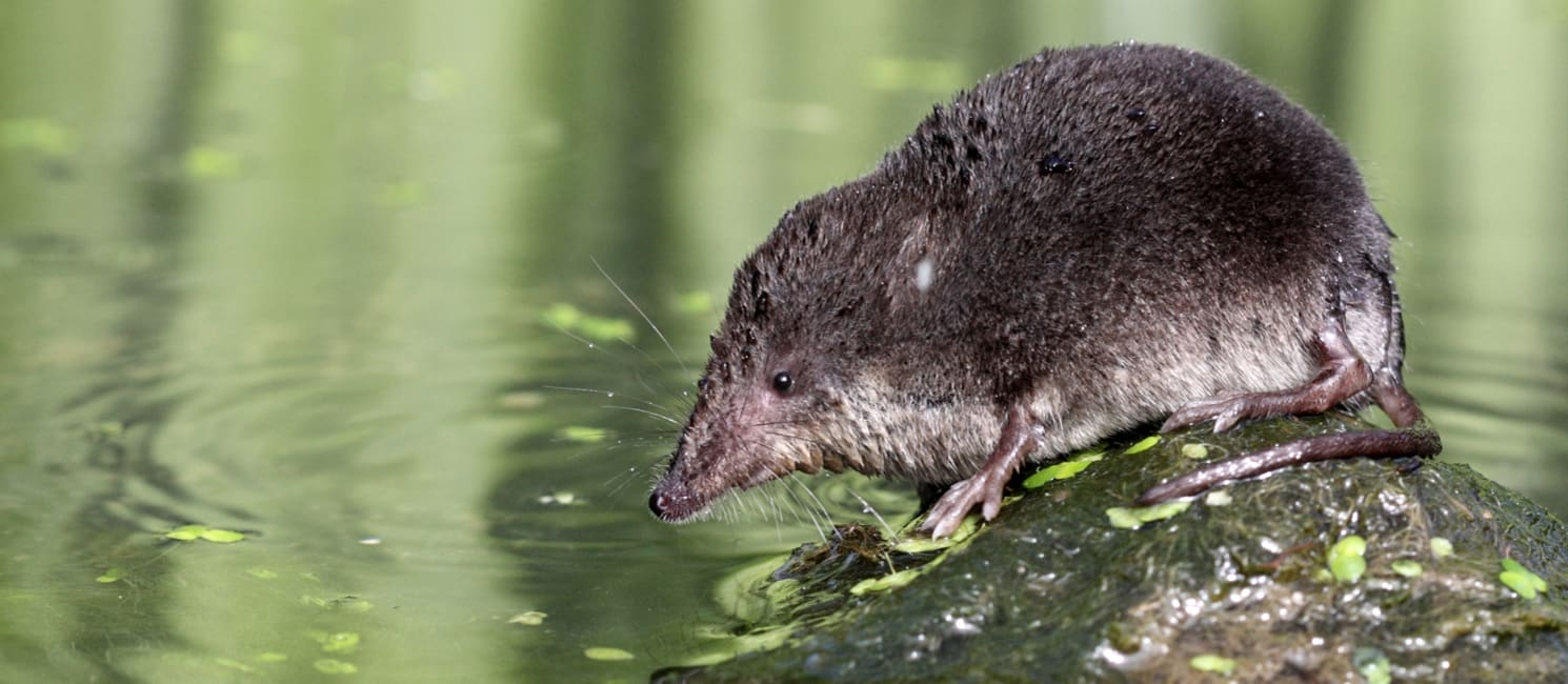 A water vole on a rock