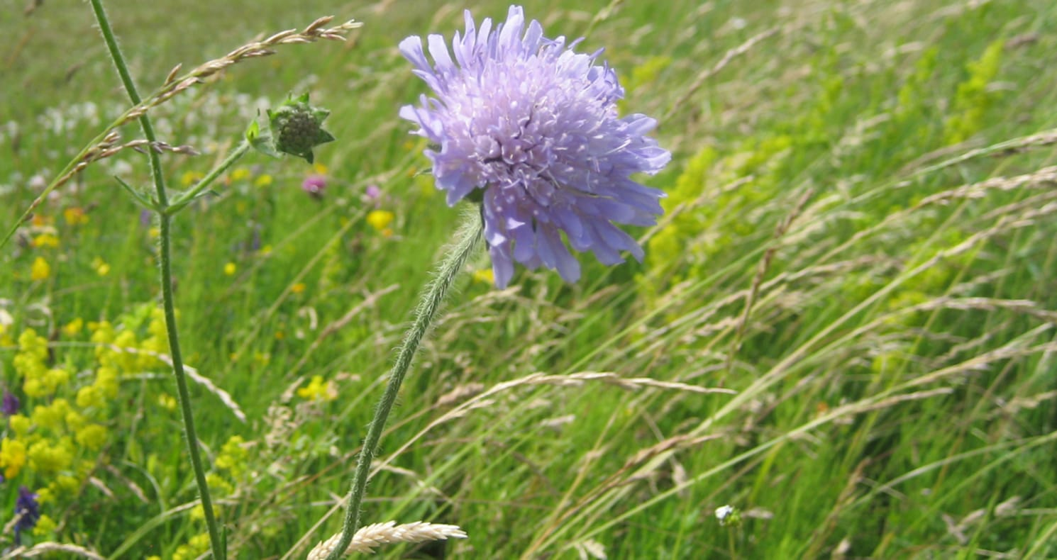 Wild flower in a field